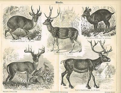 Tafel HIRSCHE / RENTIERE 1887 Original-Holzstich