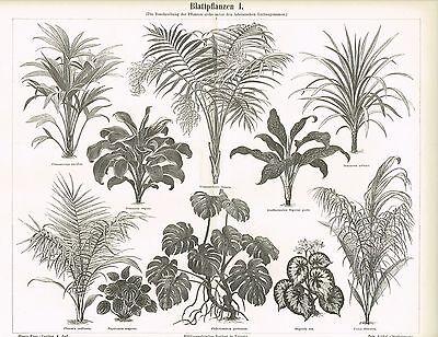 Tafel BLATTPFLANZEN / PHILODENDRON / BEGONIE / DRACAENA 1890 Original-Holzstich