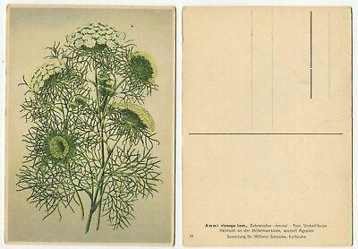 02187 - Zahnstocher-Ammei - Ammi visnaga Lam. - alte Ansichtskarte