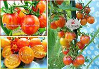 ♥   Bumblee Bee,kleine Ananas Tomate,Alte Sorte,Samen Tulpenstolz Eimsbüttel - Hamburg Schnelsen Vorschau
