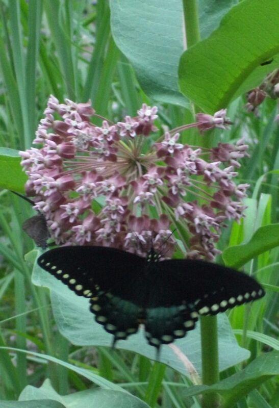 26+ MILKWEED seeds. Help Monarch butterflies! Easy to grow. Plant now!