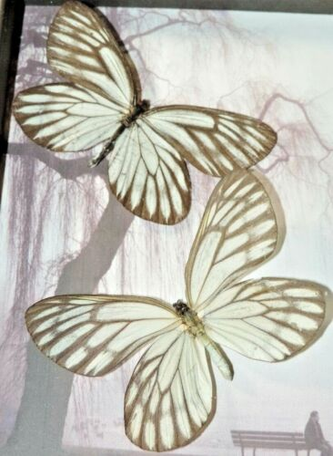 REAL BUTTERFLY FRAMED mounted swallowtail MOUNTED SHADOWBOX  ART INSECT  lot
