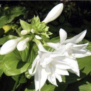 WANTED:White Fragrant Flower Hosta