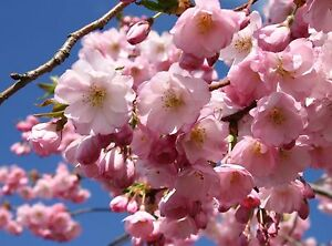 Flowering Cherry / Prunus Accolade 4-5ft, Most Reliable And Prettiest Cherry