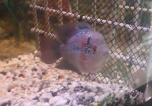 Flowerhorns cichlids for sale Glenfield Campbelltown Area Preview