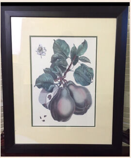 Botanical print of pears from an engraving