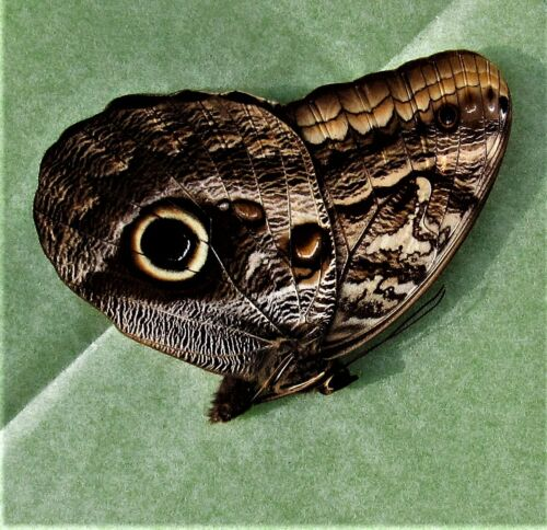 Uncommon Boomerang Owl Butterfly Caligo oedipus Folded Female FAST FROM USA