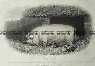 - Antique Print 232-500  Pigs - White breed by Hacker  c.1868 Natural History