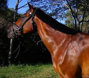 DRESSAGE MARE FREE LEASE Cooroy Noosa Area Preview
