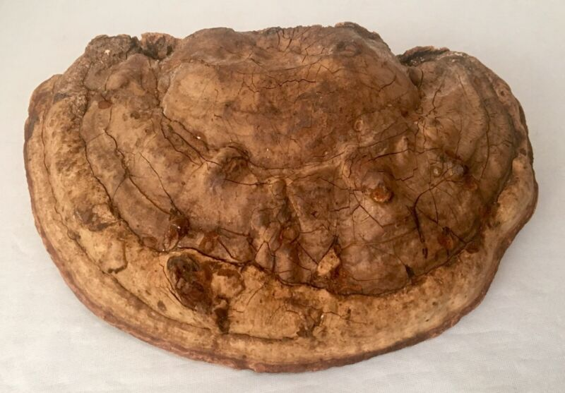 Mushroom Shelf Conk Canvas Forest for Artist Carving
