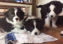 Purebred Border Collie Pups Nowra-Bomaderry Preview
