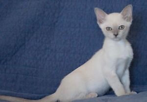 Beautiful PureBred Platinum (lilac) Mink Tonkinese male Winmalee Blue Mountains Preview