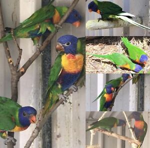RAINBOW LORIKEETS Carine Stirling Area Preview