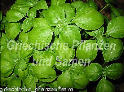 🔥🌿 Genovese Basilikum Kräuter 100 Samen für Pesto Kräuter Balkon Topf im Haus (Genovese Basilikum Samen)