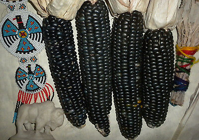 100 USDA Organic Hopi Blue Corn seeds heirloom non-GMO USA grown zea mays (Non Gmo Corn)