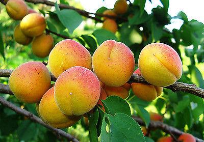 * Aprikose «KAUNAS» Aprikosen Baum ca.200 cm. Marille Apricot