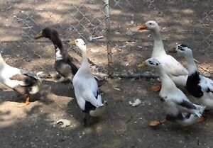 Ducks   Adopt or Rehome Livestock in Guelph   Kijiji Classifieds