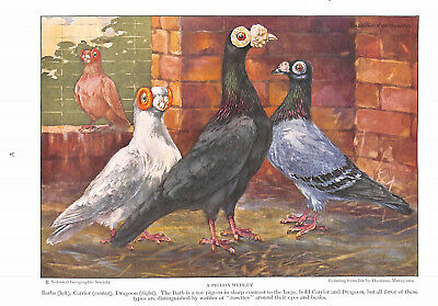A Pigeon Medley.Barbs.Carrier.Dragoon.Toy pigeon.Wattles.Art.1930.Bird.Beauty