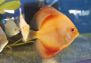 Small discus back in stock Cabramatta West Fairfield Area Preview