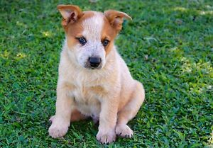 Registered Australian Cattle Dogs Ingham Hinchinbrook Area Preview