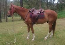Chestnut ASH Gelding Petrie Pine Rivers Area Preview