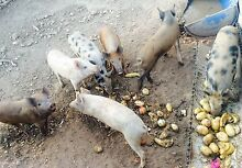 Male free range piglets for sale Darley Moorabool Area Preview