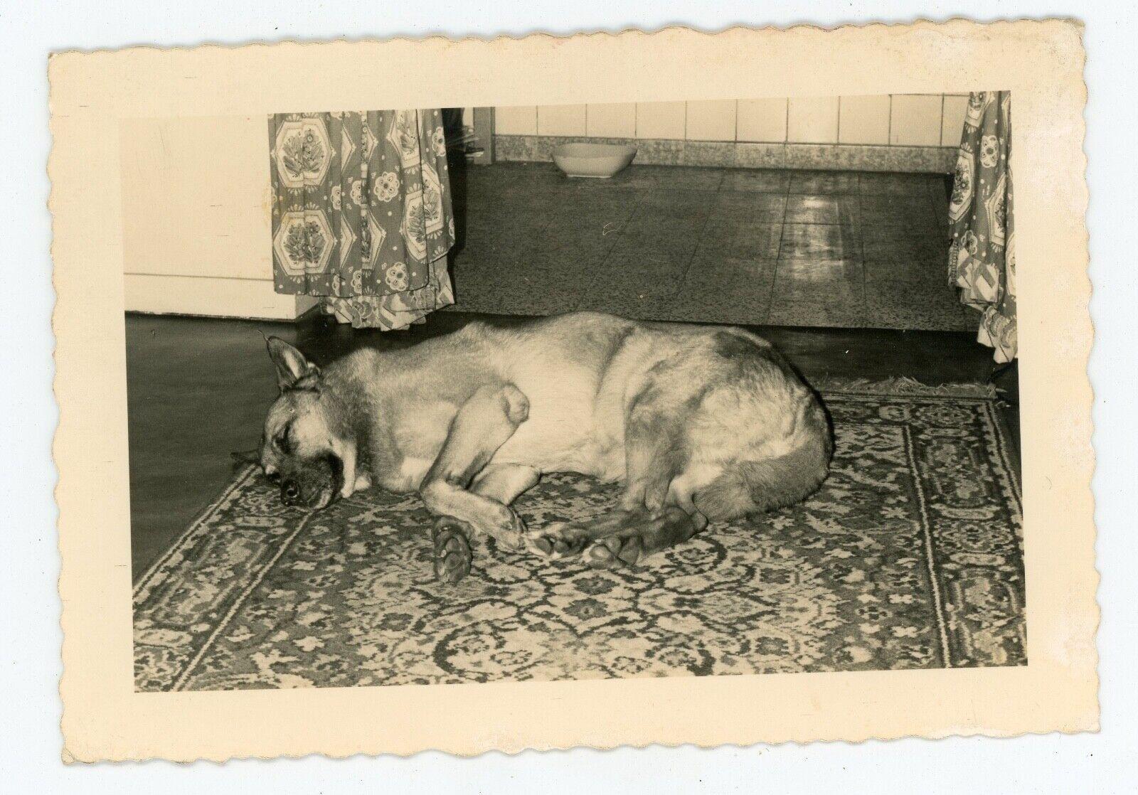Photo snapshot c.1960 . un berger allemand au repos sur un tapis . dog . chien