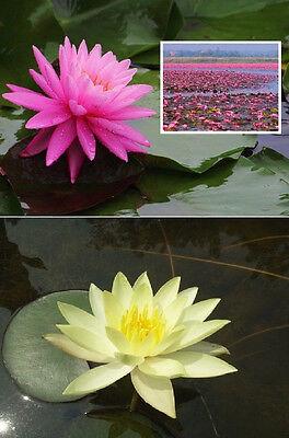 2 Seerosen Rosenymphe & C. Welch - Wasserpflanzen / Schwimmpflanzen Gartenteich