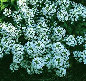 Alyssum Carpet of Snow Appx 4000 seeds - Annual