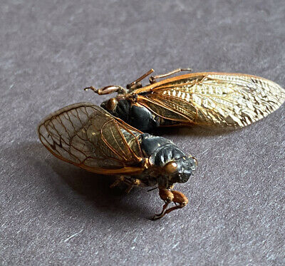 Two Real Dried Annual Cicada 2021 Brood X Insect Bug Entomology Arts & Crafts