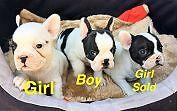 FRENCH BULLDOG PUPPIES ON MAINS PEDIGREE PAPERS Preston Darebin Area Preview