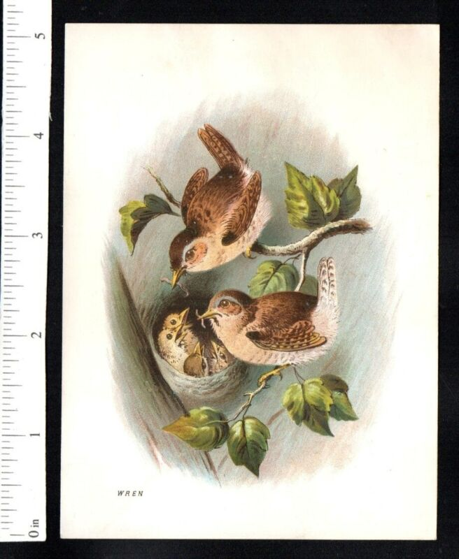 WREN FAMILY BIRDS FEED BABIES c1880