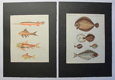 2 kolorierte Stiche Fische Flunder aus Betuch Bilderbuch für Kinder um 1810 xz