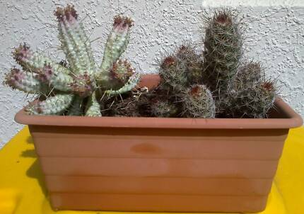 2 CACTUS PLANTS IN TUB Port Pirie Port Pirie City Preview