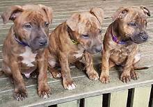 AMERICAN STAFFY PUPPIES - PUREBRED (Not Papered) Gympie Gympie Area Preview
