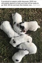 Cattle Dog Pups Ipswich Ipswich City Preview