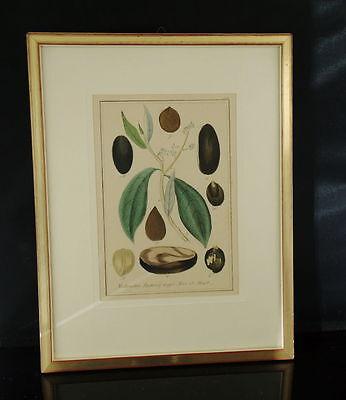 Handkolorierter Kupferstich. Um 1850 Nectandra Puchury major Nees et Mart.