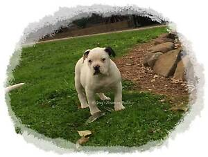 American Bulldog Puppy (Import Bloodlines) Ballarat Central Ballarat City Preview