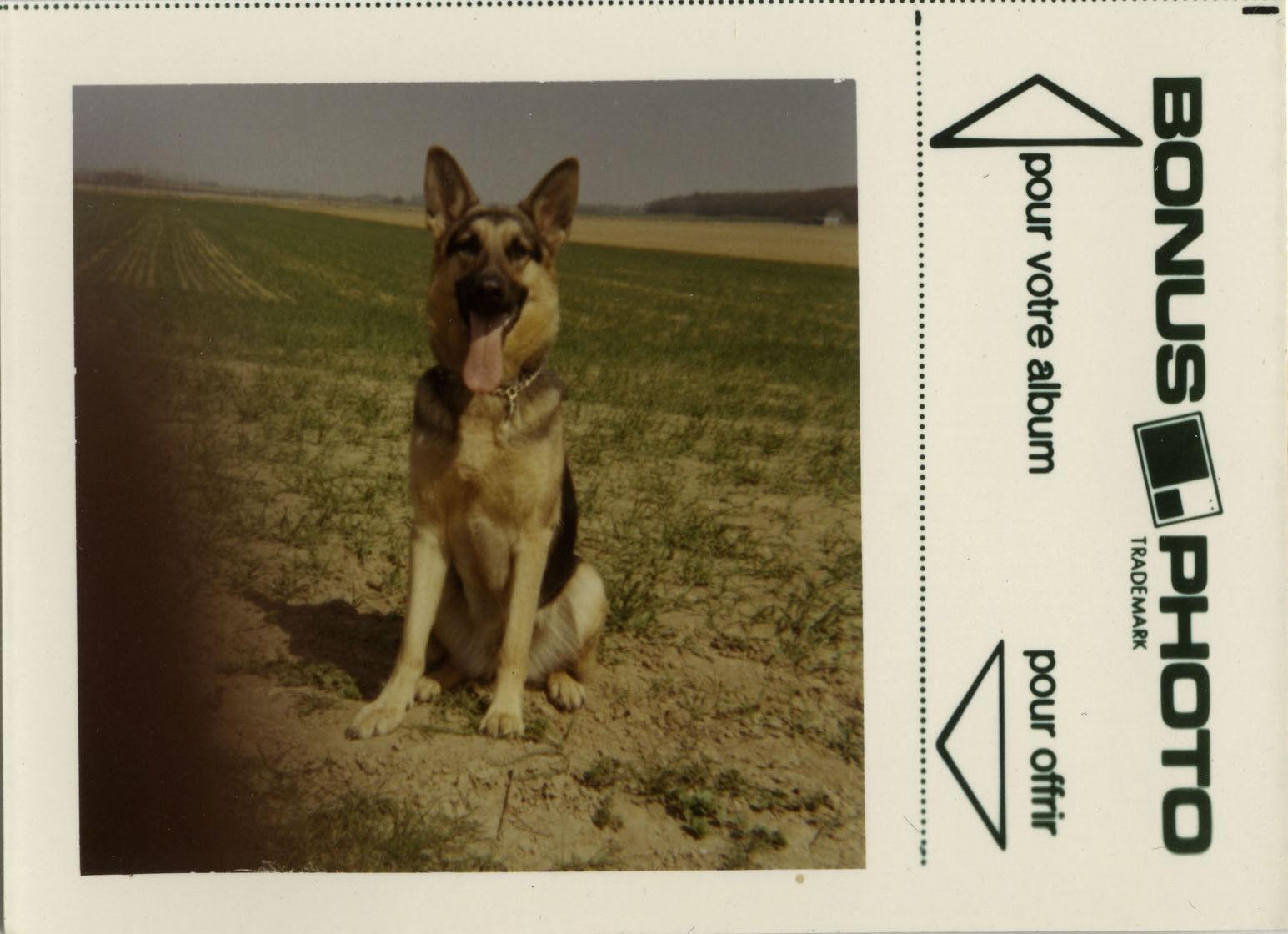 Photo ancienne - vintage snapshot - animal chien berger allemand bonus - dog 6