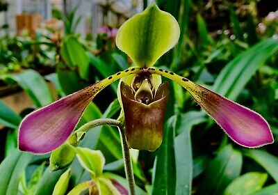 Paphiopedilum Species Lowii flowering sized Plant Orchid Orchids