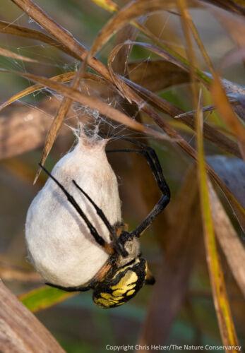 2 Real Black and Yellow Garden Spider ( Specimen  Egg Sac ) (Egg Sac Only) !