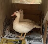 Muscovy Ducks for free