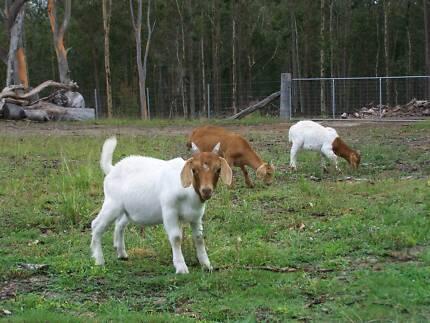 Boer Goat Wether For Sale