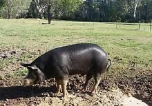 PIG  Berkshire Boar 14mths Wangaratta Wangaratta Area Preview