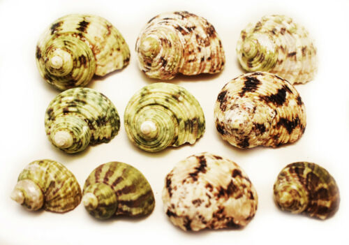"""10 Hermit Crab Changing Shell Set Medium Size Select Turbo Shells 3/4""""-1"""" open."""