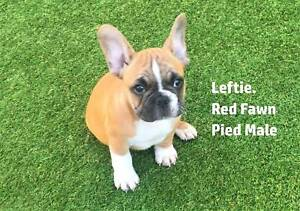 French bulldog pups, male, 1 red fawn, 1 brindle, registered.
