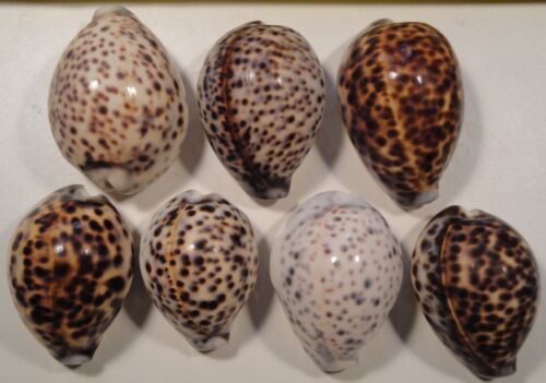 Cypraea Tigris 7 Specimens 61-76mm Good Variety with some tough to find No Data
