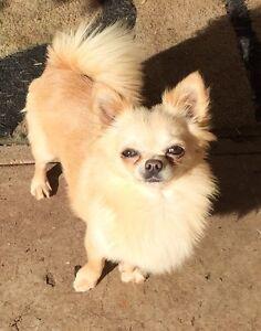 Purebred pedigree papered Chihuahua Gawler Gawler Area Preview