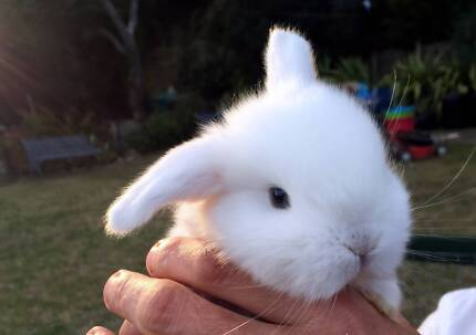 Baby dwarf lops for sale Oatley Hurstville Area Preview