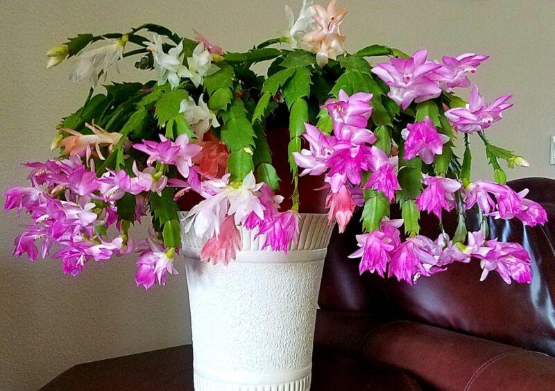 2 Christmas Cactus Starter Plants: Light Purple/Pink